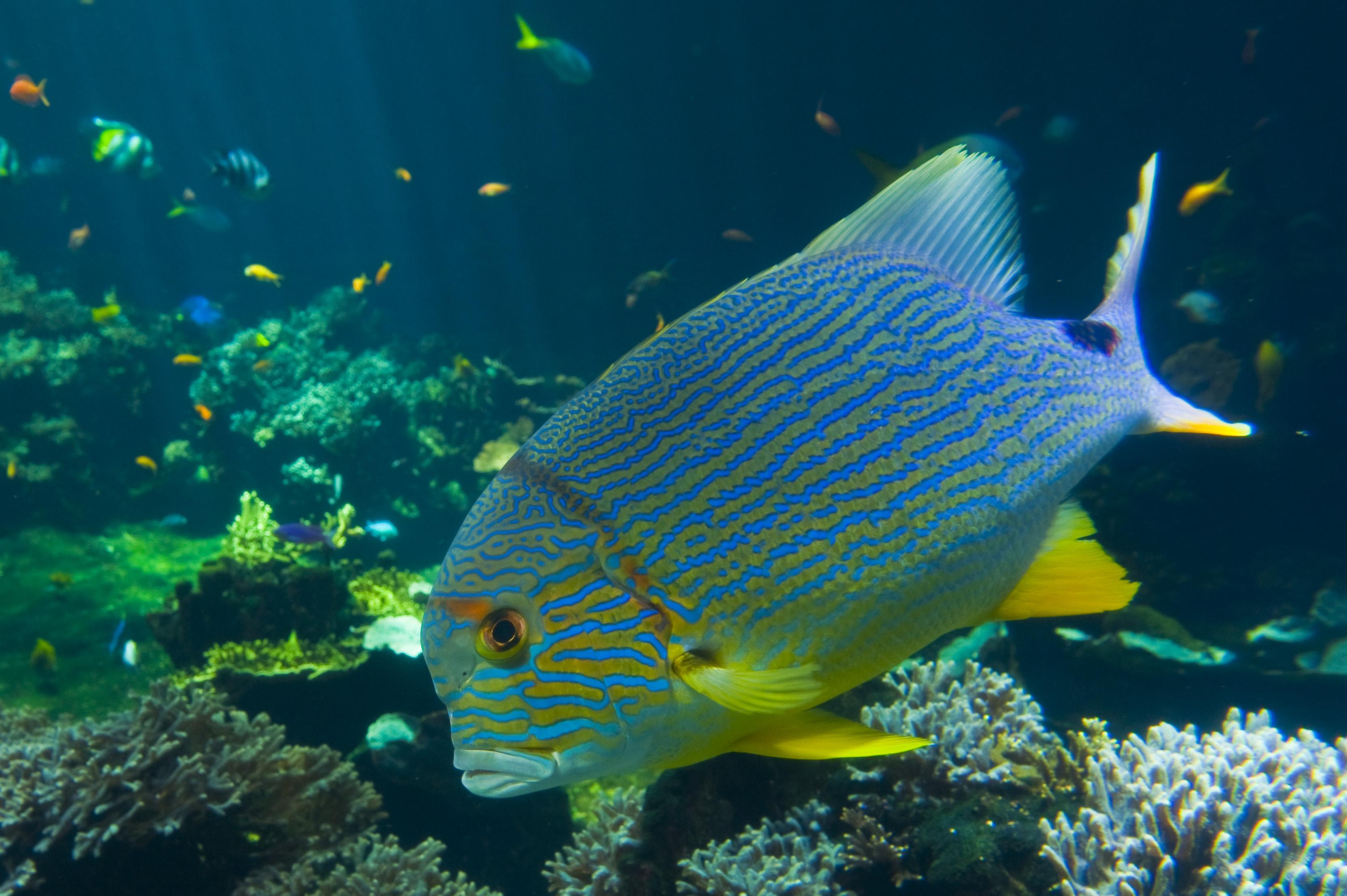 © A.Rosenfeld-NAUSICAA (1) Poisson du lagon