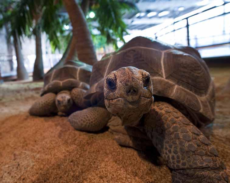 ALEXIS ROSENFELD (9) Tortue d'Aldabra