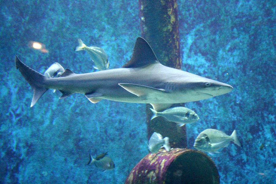 Aquarium-de-Lyon-Requin