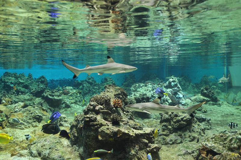 Requins pointes noires-Credit photo Gilles Diraimondo