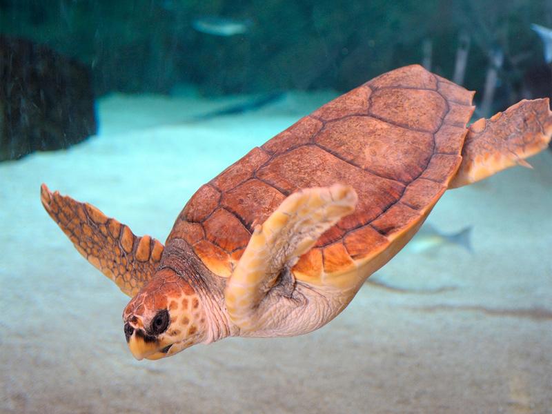 tortue-caouanne