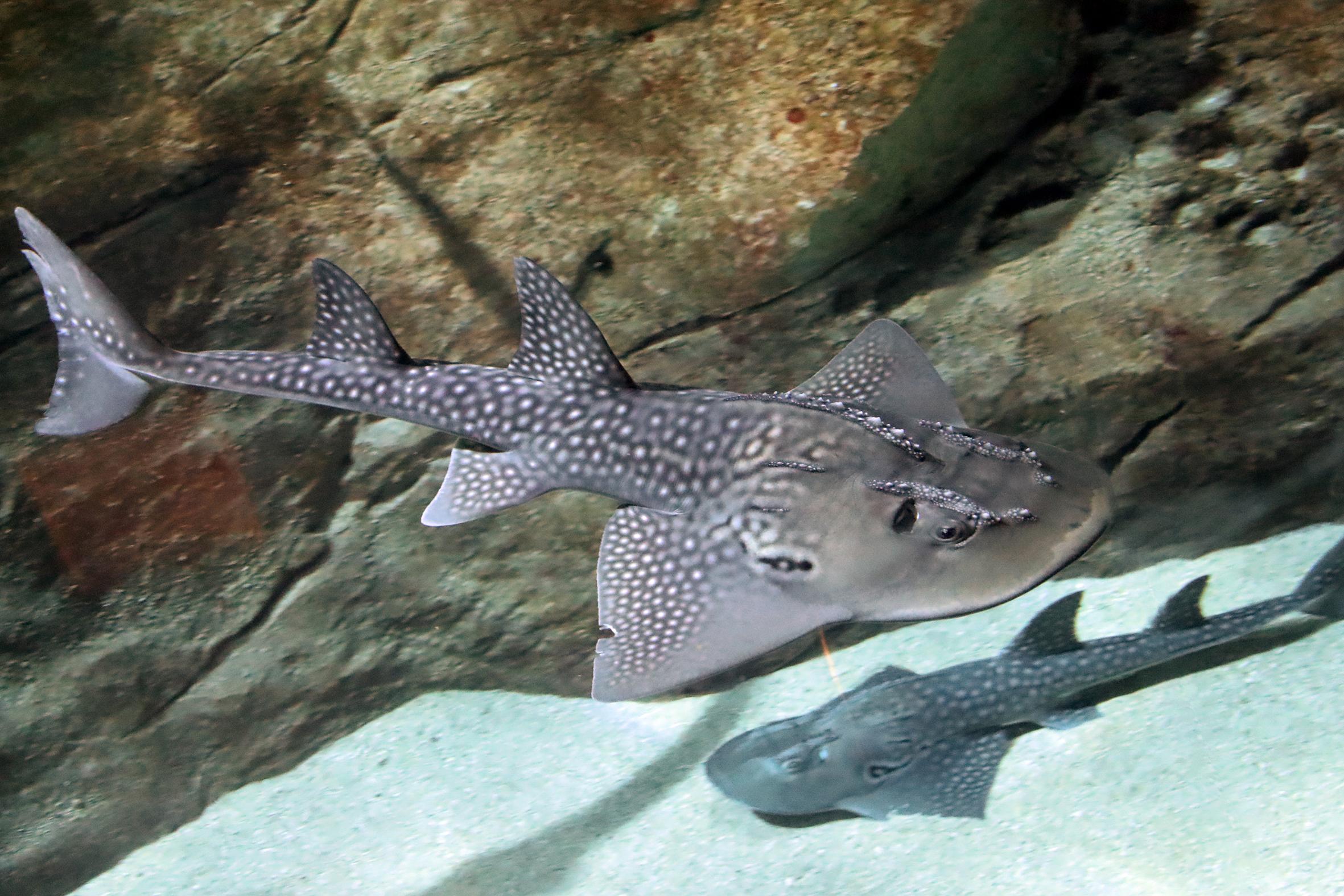 Raie Guitare - Aquarium Biarritz