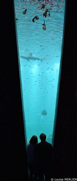 Public devant la grande faille avec requin gris et autres poissons dont platax
