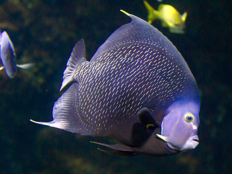 poisson-ange-francais(c)FALM-aquarium-larochelle